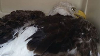 Bald Eagle Hit By Truck in Cleburne