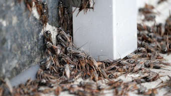 Curious Texas: Why Are Crickets Invading Dallas?