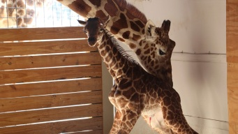 Baby Bump: April the Giraffe and Calf Are Cash Cow for Zoo