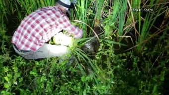 Alligator Rescued From Python's Grip