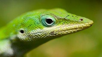 Lizard Found in Kindergartner's Salad Becomes New Class Pet