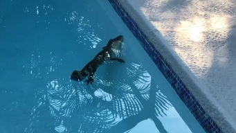 Baby Gator Takes a Dip in Family Pool