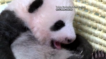 Baby Panda in Japan Needs Name