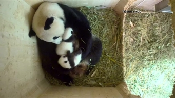Baby Pandas Play With Momma Panda