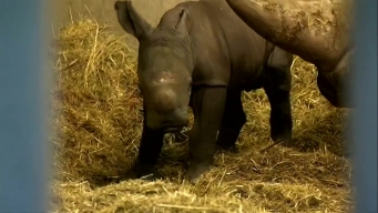 Baby Rhino Born in Denmark Zoo
