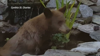 Bear Enjoys Dip in Koi Pond