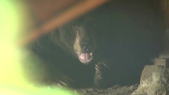 Bear Moves Into Man's Home