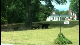 Bears Caught Roaming In Residential Areas