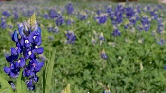 Ennis Ready for Annual Bluebonnet Trails Festival