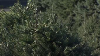 Texas Christmas Tree Farms Devastated By Harvey Floods