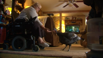 Emotional Support Turkey Brings Joy to Woman With Lupus
