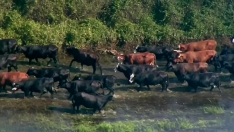Cattle Rescued From Flooded Ranch