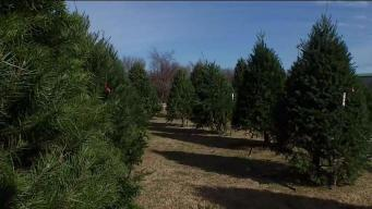 Nationwide Christmas Tree Shortage Could Impact North Texas Prices