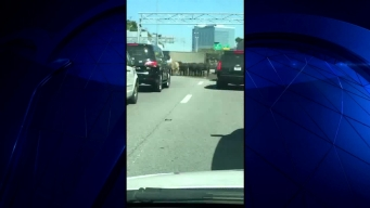 Cows Get Loose on Highway