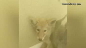 Coyote Found in Home