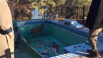 Family Saves Deer From Pool