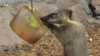 Zoo Animals Eat Frozen Treats at Zoo in Rome