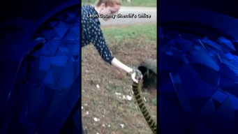 Detective Captures Loose Anaconda