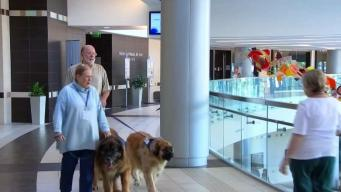 165-Pound Therapy Dog Raises Money For Cancer Research
