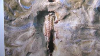 Grasshopper Found in Van Gogh Painting