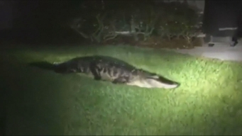 Gator Attempts Home Invasion