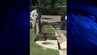 Gator Pulled From Sewer