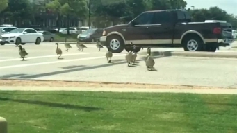 Geese Stop Traffic in Flower Mound