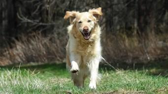 FDA Investigates Link Between Some Pet Foods, Canine Heart Disease