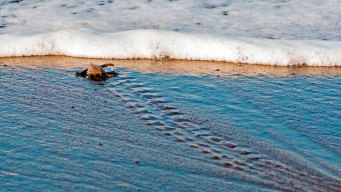 Preliminary Numbers for Texas Show Drop in Nesting Turtles