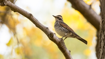 Bird Commonly Found in Asia Spotted by Enthusiasts in Alaska