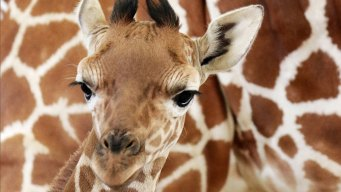 Baby Giraffe's Debut at Dallas Zoo Moved to Thursday