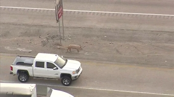Raw: Interstate 45 Shut Down, Pigs on Road