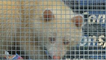 Rare Albino Raccoon Trapped