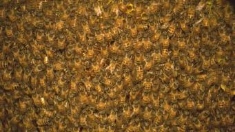 Woman Discovers Honeybee Hive in Barbeque Grill