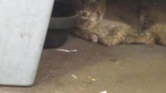 Man Finds Bobcat Under Desk