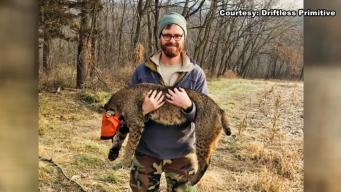 Huge Bobcat Captured