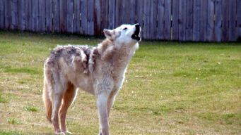 Oklahoma Neighbors Welcome Wolf 'Dog'