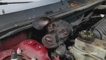 Dog Rescued From Under Car Hood
