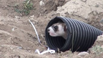 Black-Footed Ferrets Return To The Wild