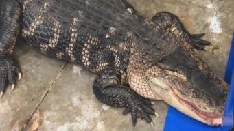 'Katfish' the Gator Gets New Home