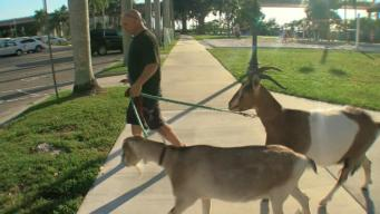 Florida 'Goat Guy' Relies on Animals for Therapy