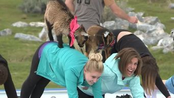 'GOGA': Mixing Goats and Yoga