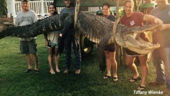 Mississippi Woman Bags Massive Gator