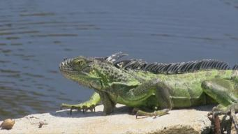Iguana Explosion: Lizards Invade South Florida