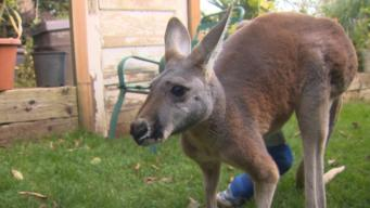 Rescued Kangaroo On Road to Recovery
