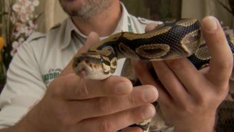 Slithery Surprise: Python in Pantry