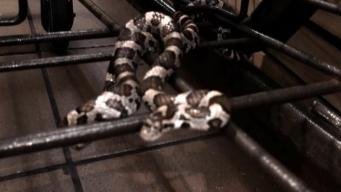 Shoppers Find Snake Curled in Grocery Store Cart