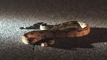 Cops Capture Boa