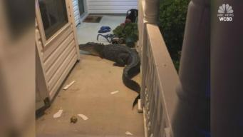Couple Wakes Up to Gator on Front Porch