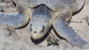 Volunteers Help Find Sea Turtle Nests On Coast